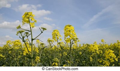 Rapeseed field, Blooming canola flowers.