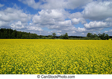 Blooming rapeseed field and blue skies with some clouds.