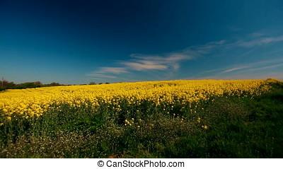 Rapeseed Field Focus on Horizon - Rapeseed field. Clear sky,...
