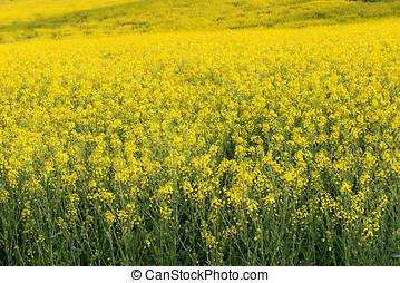 Rapeseed field - General view of a rapeseed field