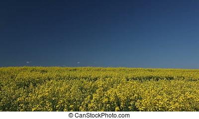 Rapeseed Field Horizon over Land - Rapeseed field horizon...