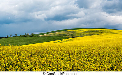 Rapeseed field in country