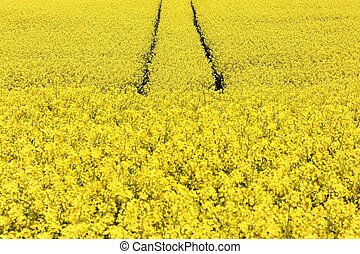 Rapeseed field in Denmark