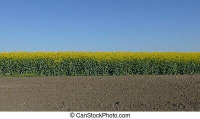 Rapeseed field in spring, 4K video