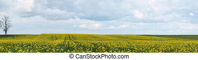 Rapeseed field panoramic view