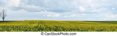 Rapeseed field panoramic view