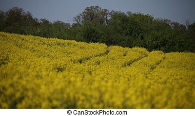 Rapeseed Field Patterns Low Angle View - Rapeseed field...