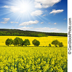 rapeseed field with sunny sky