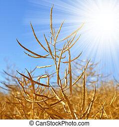 Rapeseed field before harvesting