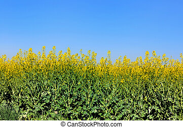 rapeseed field in bloom under blue sky