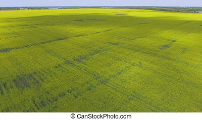 Rapeseed field top view