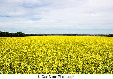 Rapeseed field under blue sky