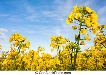 Rapeseed field with canola crops on blue sky