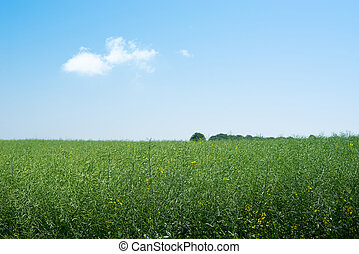 Rapeseed field with green plants