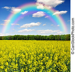 rapeseed field with rainbow