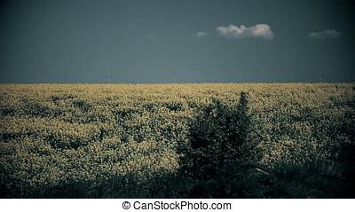 Rapeseed Field with Shrub - Rapeseed field with shrub. Power...