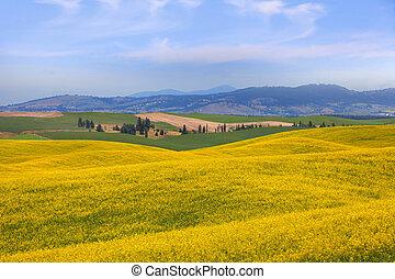 Rapeseed fields near Palouse