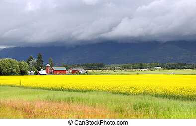 Rapeseed fields - Yellow rapeseed fields in Montana on a...