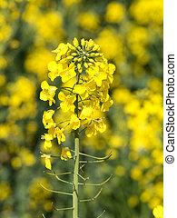 rapeseed, fleurir