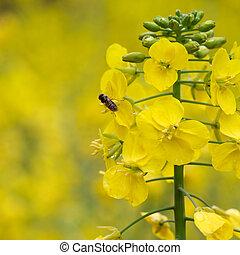 rapeseed flower and bee in rape field