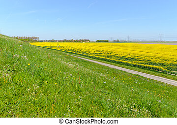 Rapeseed flower blooming at crops field.