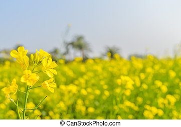Rapeseed flower close up isolated on blurred background and its gorgeous petals captured from a Sunny field of rape flower garden