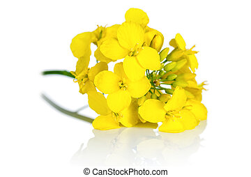 Rapeseed Flower - Rapeseed blossom on white background....