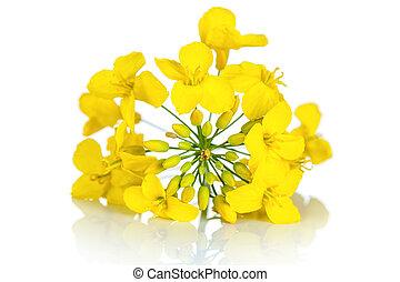 Rapeseed Flower - Rapeseed flower on white background....