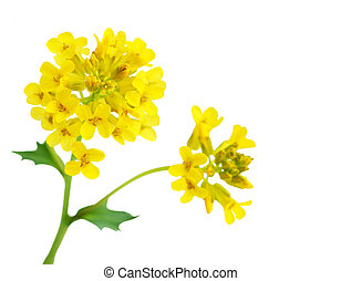 Rapeseed flower - Rape seed flower branch isolated on white