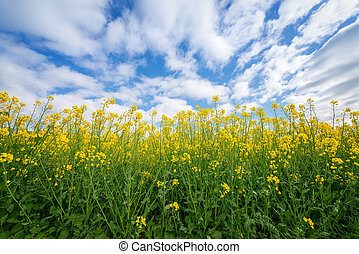 Yellow rapeseed flowers against the sky in the springtime