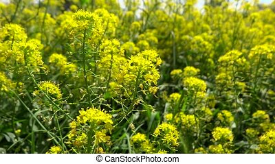 rapeseed flowers closeup