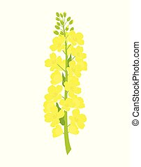 rapeseed flowers on white background - vector rapeseed ...