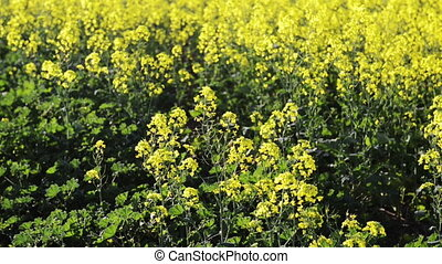 Rapeseed - Footage of canola field or rapeseed field in...