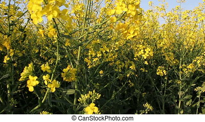 Rapeseed in early summer