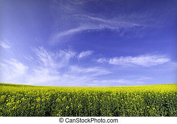 rapeseed field  in summertime