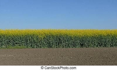 Rapeseed plants in field, panning - Oil rape, canola plants ...