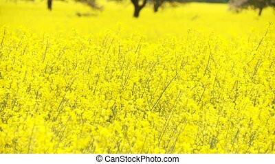 Rapeseed - video footage of rapeseed
