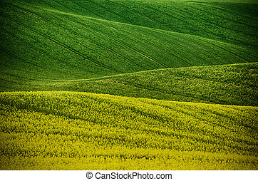 Rapeseed yellow green field in spring, abstract natural eco ...