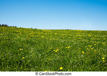 Rapeseed yellow green field in spring, abstract natural eco seasonal floral background