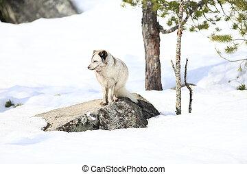 raposa ártica