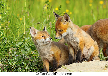raposa, natural, filhotes, habitat