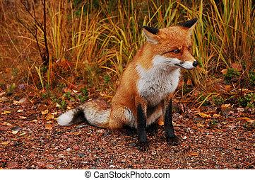 raposa, natural, seu, habitat