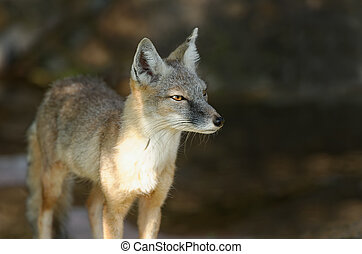 raposa, steppe