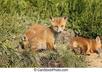 raposas, natural, família, habitat, vermelho