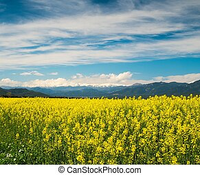 Raps field with Pyrenees in distance