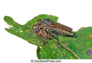 raptorial, vlieg, (asilidae), 12