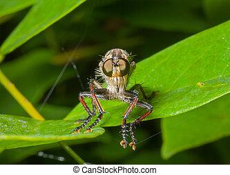 raptorial, vlieg, (asilidae), 15