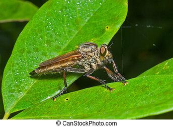raptorial, vlieg, (asilidae), 16