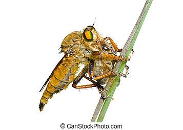 raptorial, vlieg, (asilidae), negen