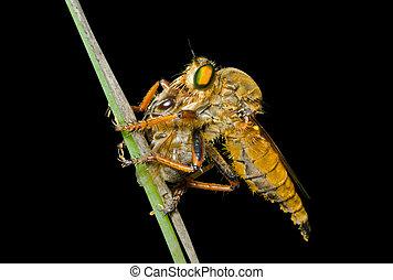 raptorial, vlieg, (asilidae)